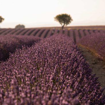 Onde e quando ver campos de lavanda na Provença